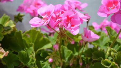 sardunya çiçeği