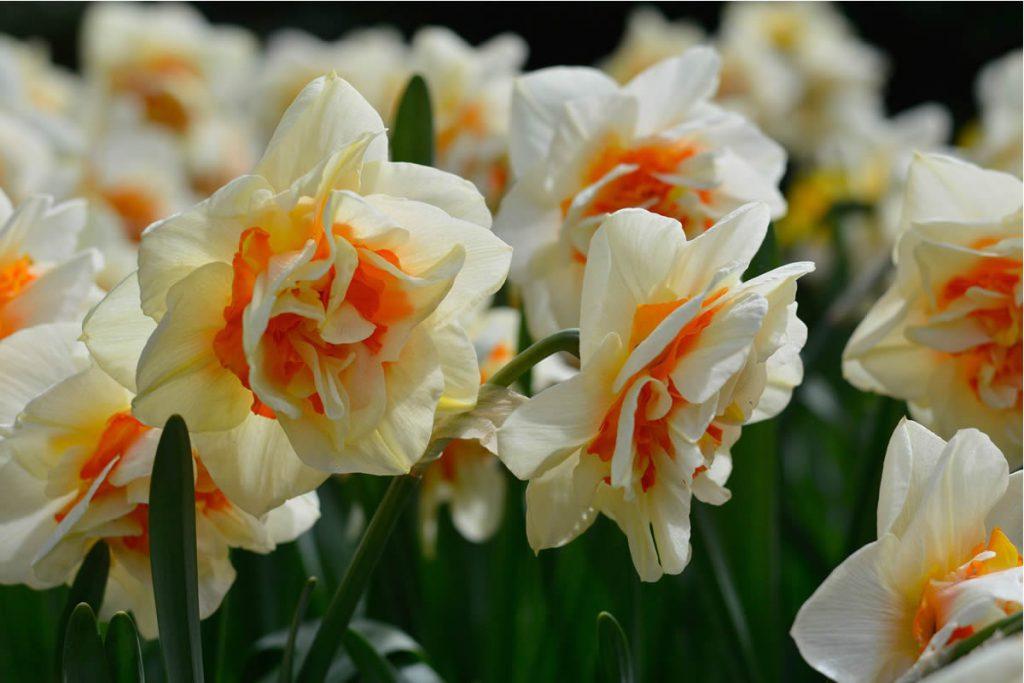 Nergis Çiçeği