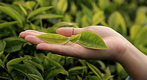çay ağacı yağı ve avokado maskesi