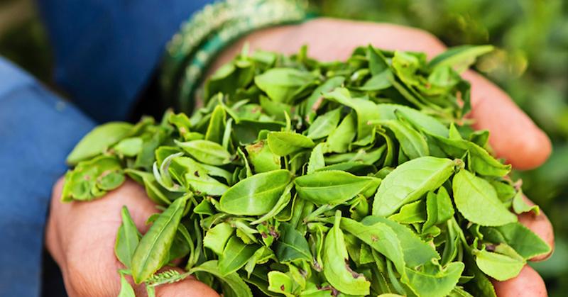 çay ağacı yağı
