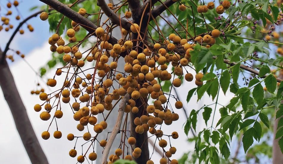 neem ağacı yağı maske