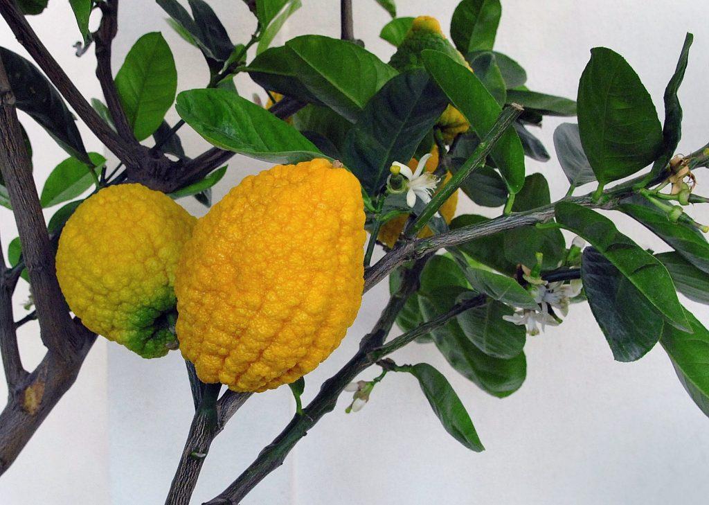 ağaç kavunu yağı citron