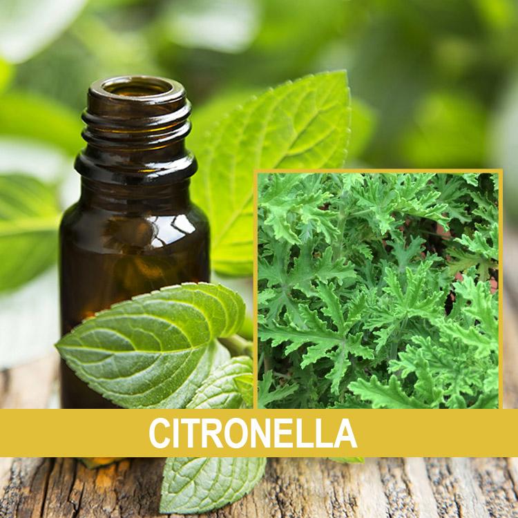 citronella esansiyel yağı
