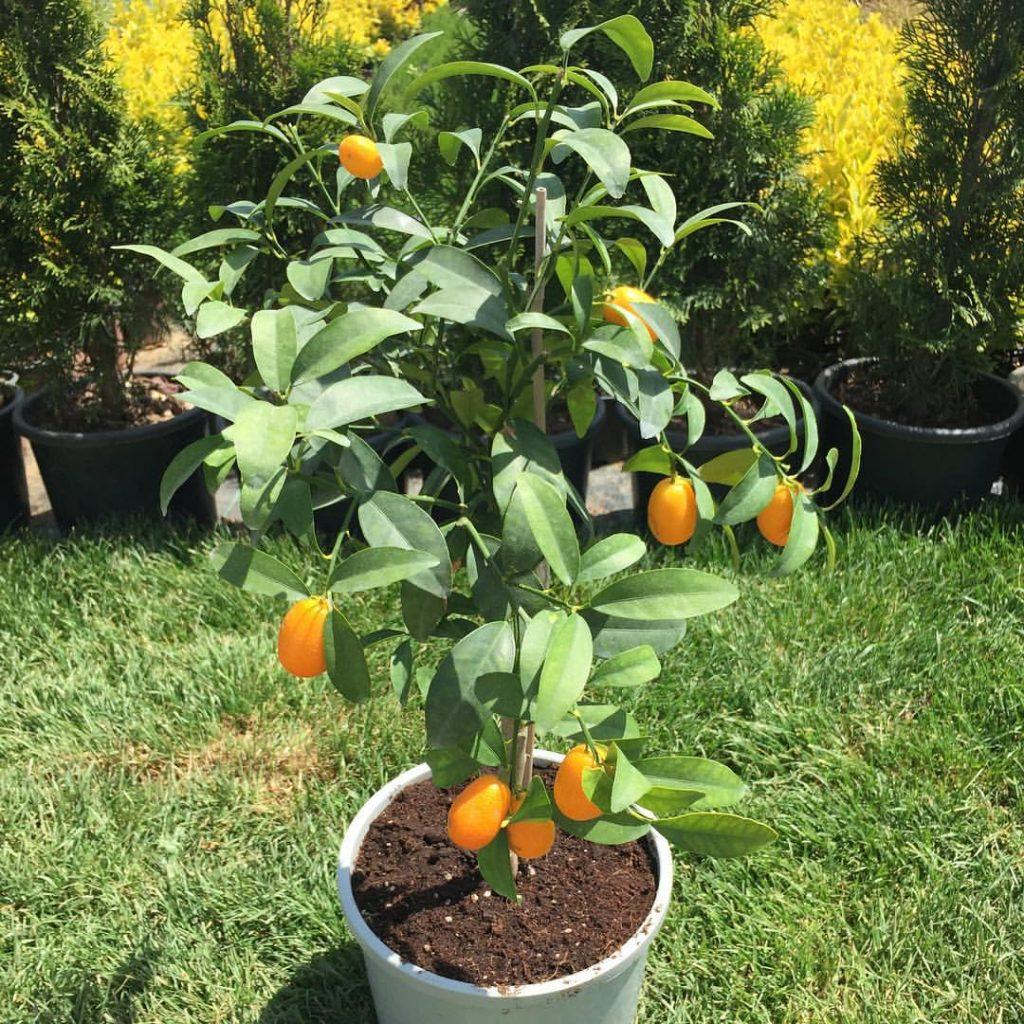 süs mandalinası yağı