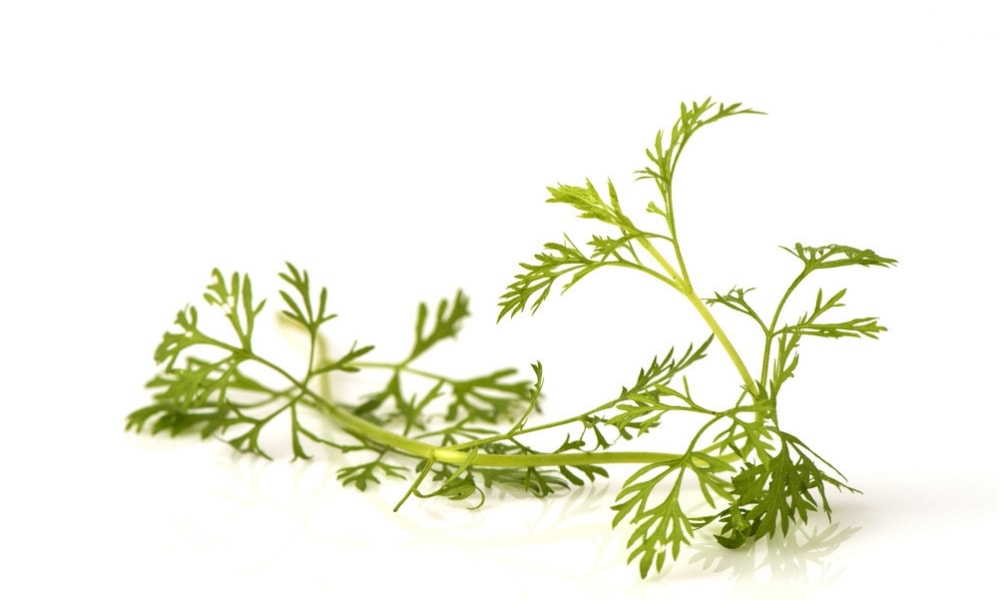 davana bitkisi yağı