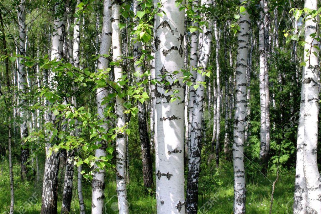 Huş Ağacı Yağı