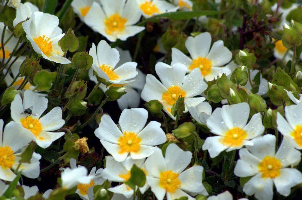 Laden Çiçeği Yağı