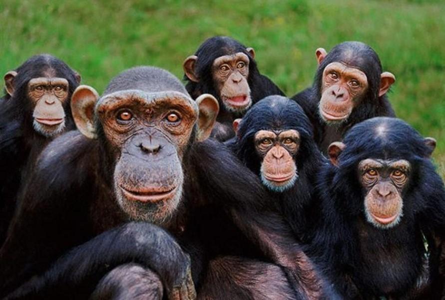 beyin genlerini maymunlara koydular